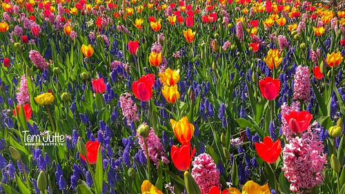 Colorful flowers, Keukenhof Gardens, Netherlands - 2456