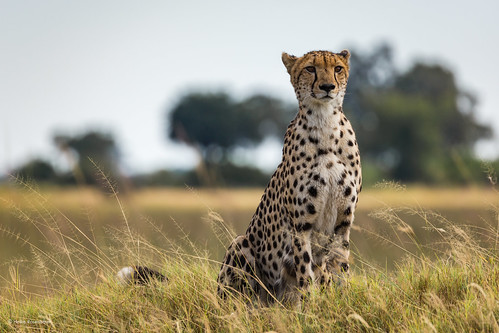 Cheetah on the lookout II
