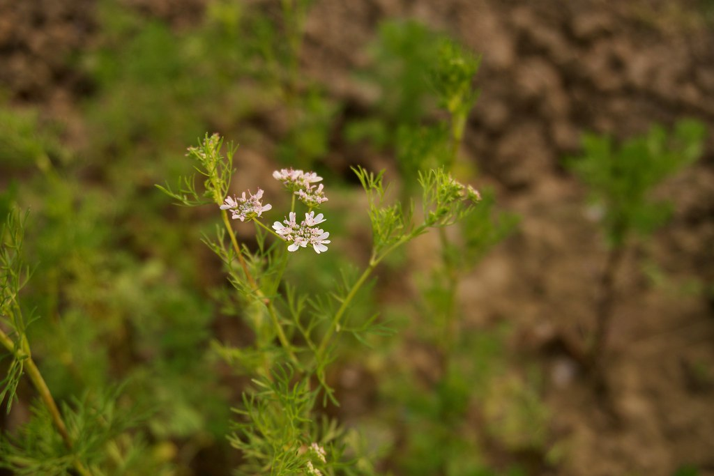 Flower of a Coriander