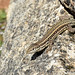 Vaucher's Wall Lizard (Podarcis vaucheri)
