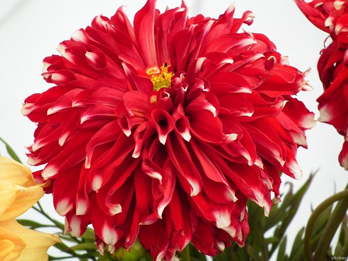 Five Facts That Nobody Told You About Big Red Flowers | big red flowers | by franklin_randy
