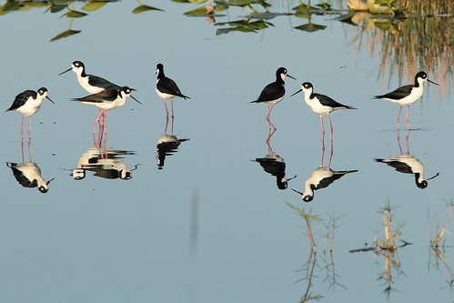 Black-necked Stilts 007-20190401