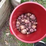 Whataroa potato