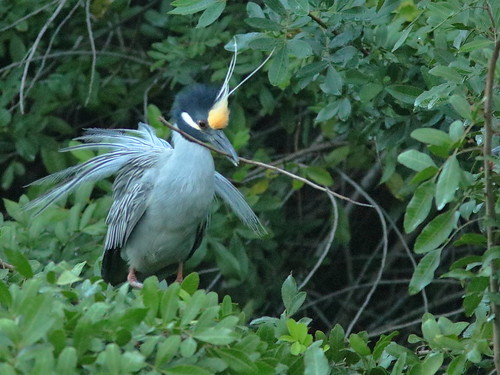 Yellow-crowned Night-Herons at nest 06-20190227