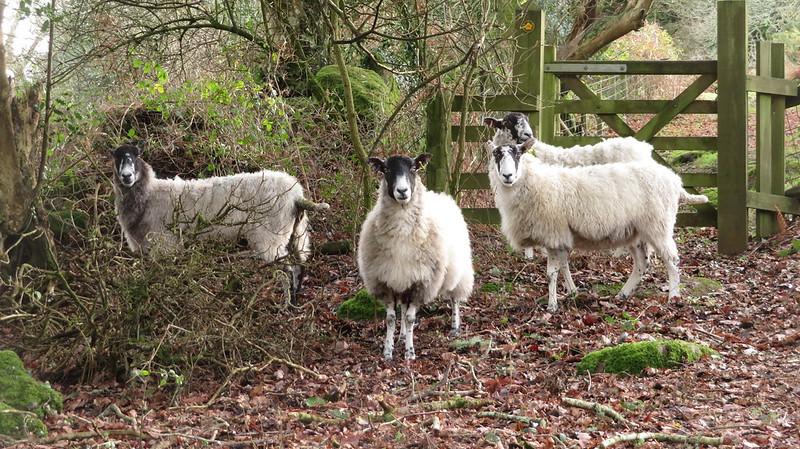Stranded sheep