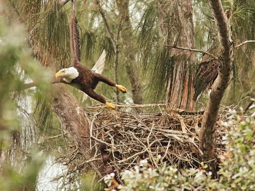 Bald Eagle 6052-20190125