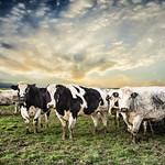 13. Jaanuar 2016 - 12:14 - Grazing cows