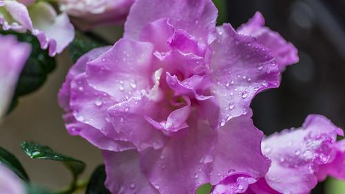 Azaleia na chuva