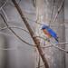 Little Bluebird, Scratching His Bluebird Head