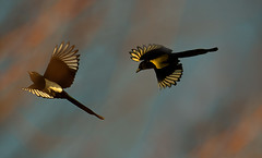 dancing magpies in the light of the rising sun