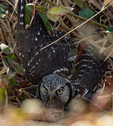 Hawk Owl -vole catch