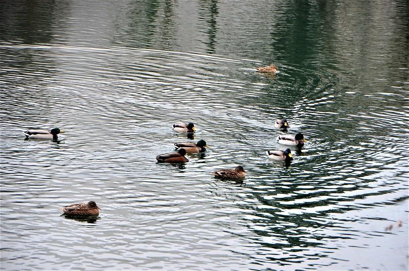 Ducks 12.01 (10)