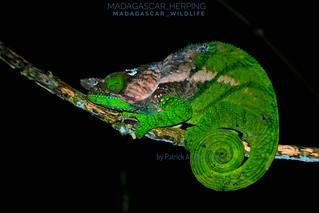 O'Shaughnessy's chameleon (Calumma oshaughnessyi) - IMG_2475-male