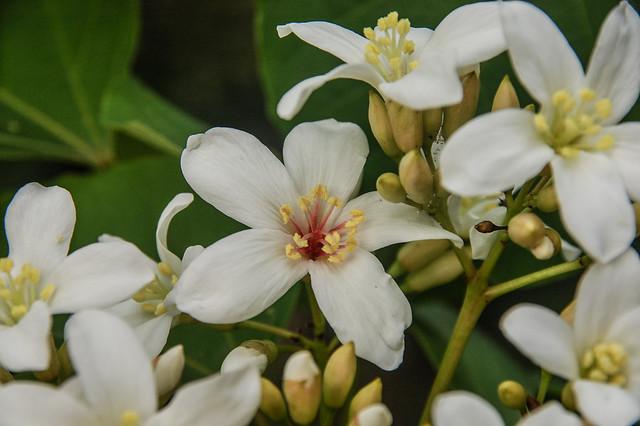 油桐花 3