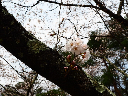 Sakura/桜