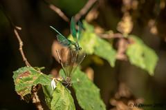 Calopteryx virgo (Caloptérix vierge)