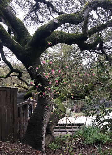 Oak With Flowering Currant