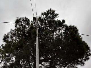 albero piazza venusio (2)