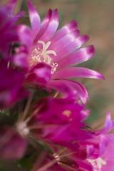 Pincushion cactus 2