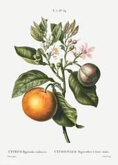 Bitter orange (Citrus bigaradia violacea) illustration from Trai
