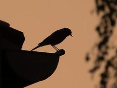 Oiseau de gouttière