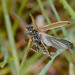 D253714 Soldier Beetle