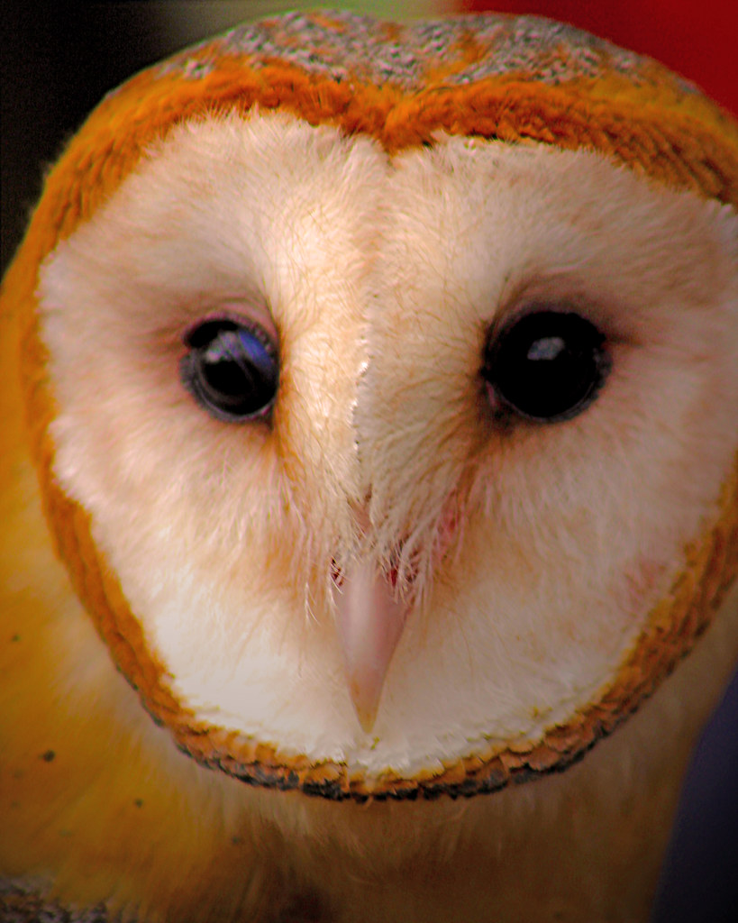 2019.02.16 Pints and Predators Barn Owl 6 cropped