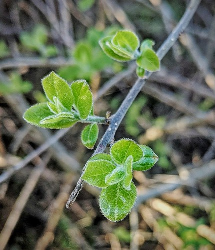 Closeup of a twig with leaf buds ready to burst. Young nature waking up at Spring.
