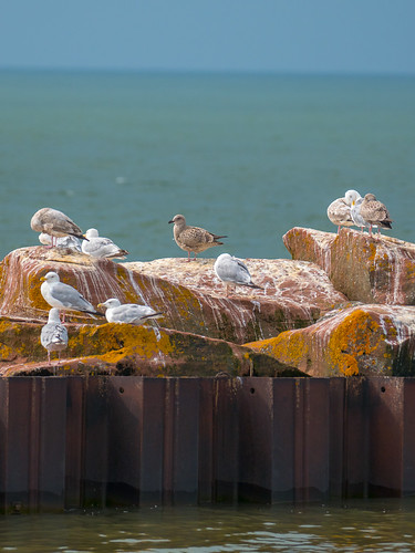 Gulls, Herring