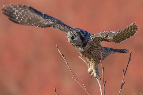 Northern Hawk Owl take off