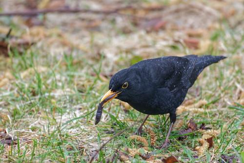 Amsel - Eurasian Blackbird - Turdus merula - 1