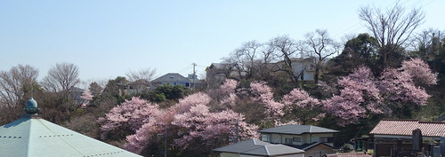 DSC03723 春めき桜