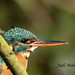Kingfisher-6091