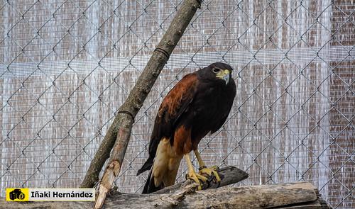 Águila de Harris (Parabuteo unicinctus)