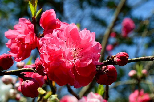 Hangzhou - Cherry Blossom