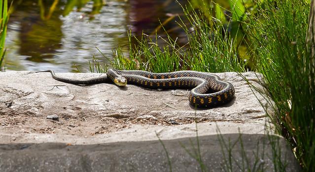 Snake on a warm stone