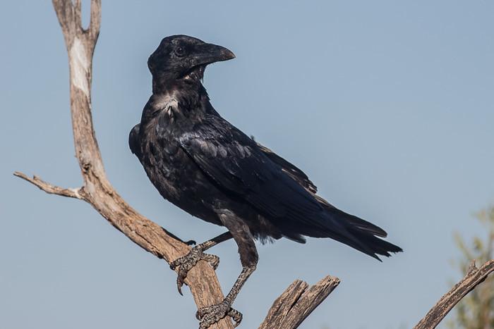 Australia Raven