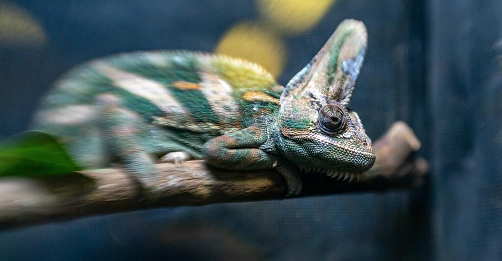 Veiled Chameleon_4