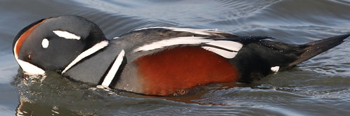 Male Harlequin Fishing