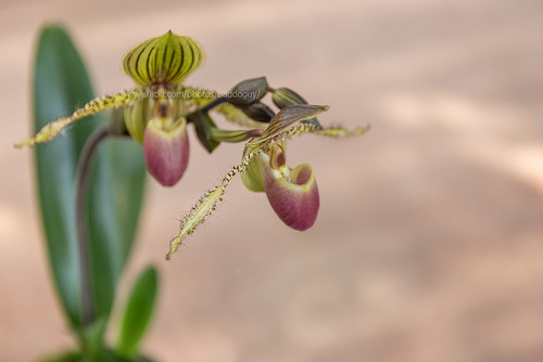 Beautiful Orchid Garden, Chanthaburi : Paphiopedilum (Lady's Slipper) | by baddoguy