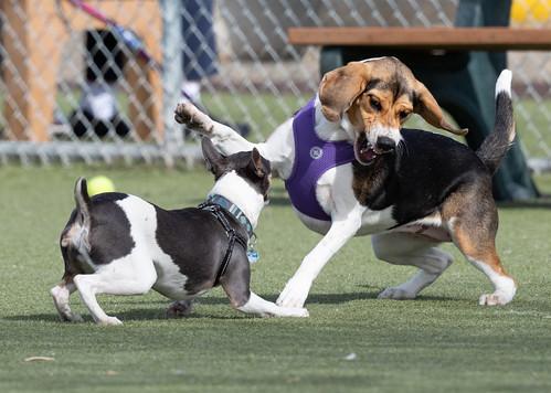 dogs_wrestling-20190323-100-4