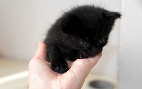Yoel, gatito monisimo pelo semilargo negro esterilizado, nacido en Febrero´19, en adopción. Valencia. 46736836554_36173a419f