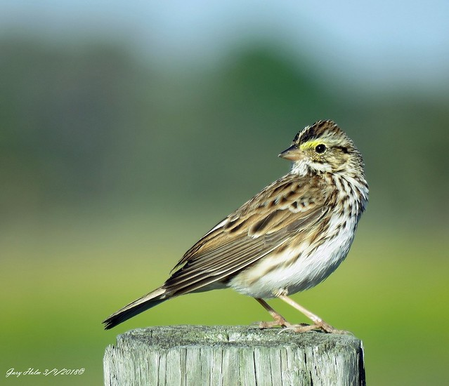 One Of The Most Numerous Songbirds In North America