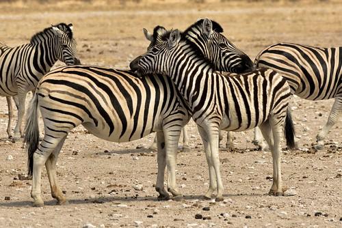 Zebra @ Nebrownii Water Hole