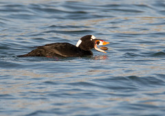 Surf scoter with lunch