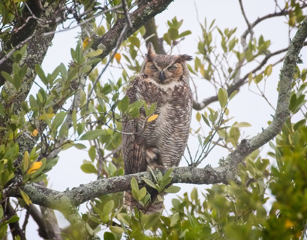 Great horned owl parent