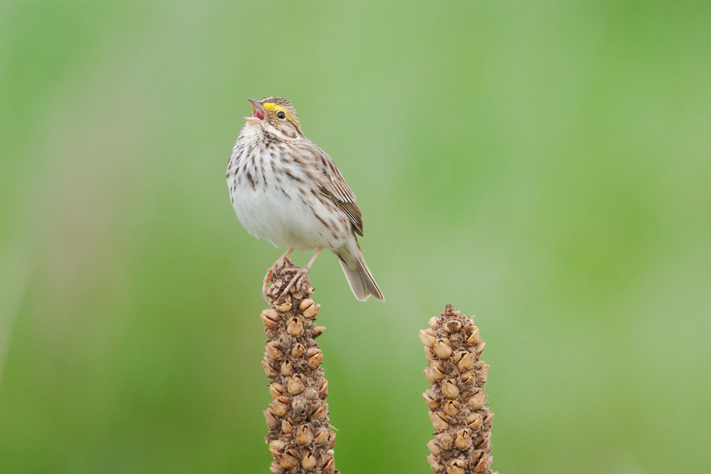 A savannah sparrow sings on an Easter morning from its perch atop a plant in a large meadow at Ridgefield National Wildlife Refuge in Ridgefield, Washington