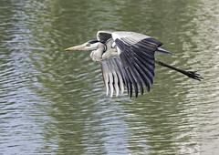Grey heron in flight. Ardea cinerea