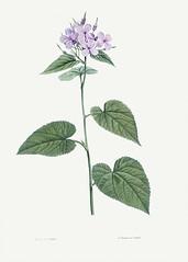Morning-glory flower in bloom