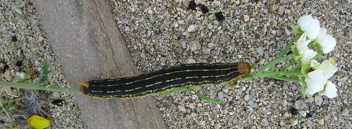 Caterpillar (1851)